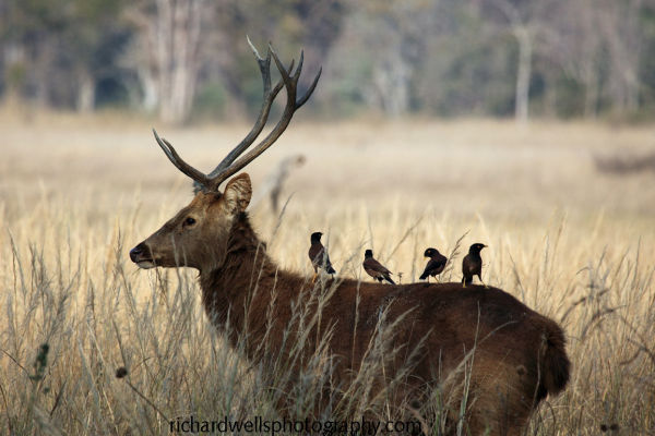 Barasingha Stag and Passengers..