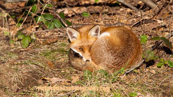 Duddingston Fox
