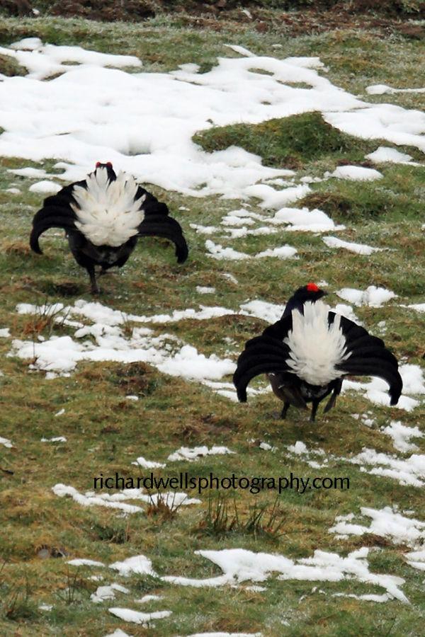 The Black Grouse Strut...