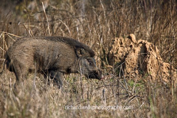 Wild Boar and Termite Mound