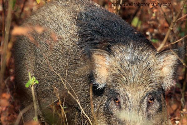 Wild Boar Close Up