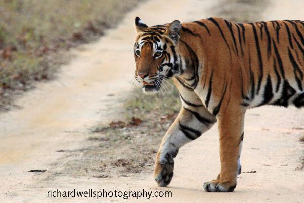 Tigress Close Up, Kanha