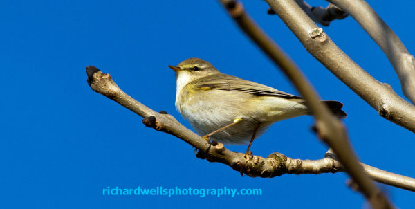 Willow Warbler, Islay