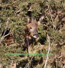Loch Gruinart Roe Deer Stag