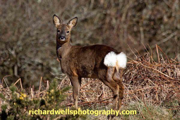 Roe Deer Hind