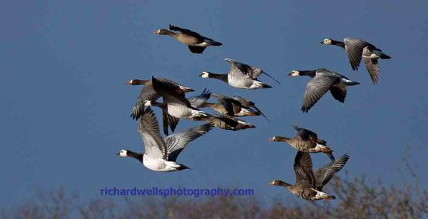 Geese over Loch Gruinart RSPB Reserve