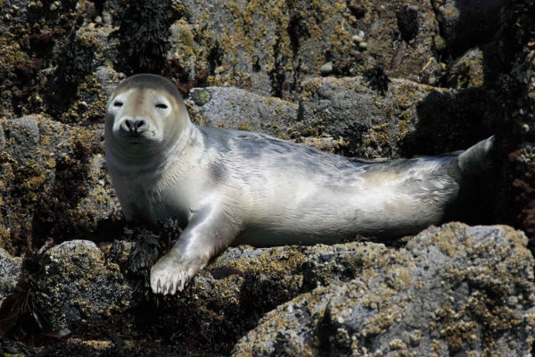 Seal Pup, Isle of May