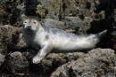 Seal Pup, Isle of May