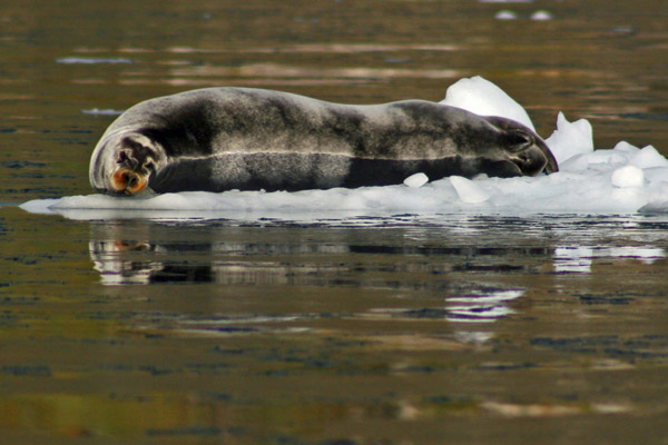 Bearded Seal, East Greenland