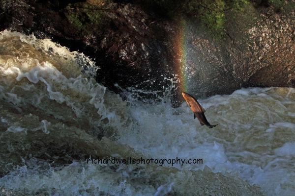 Rainbow...Salmon....
