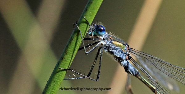 Damselfly, Saltoun Wood