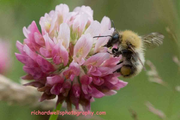 Bee Feasting on Nectar....