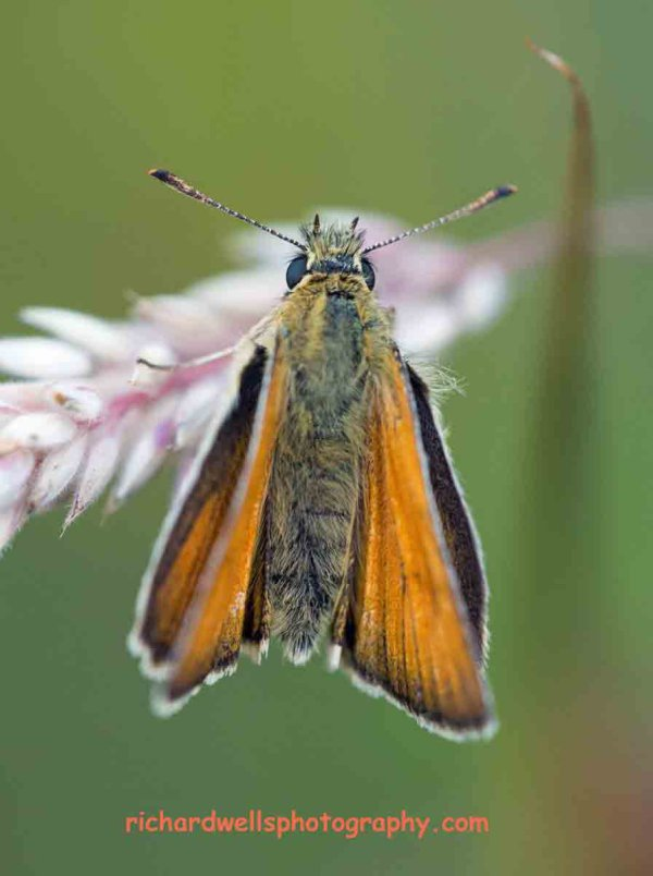 Small Skipper, Saltoun.