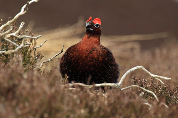 Displaying Red Grouse