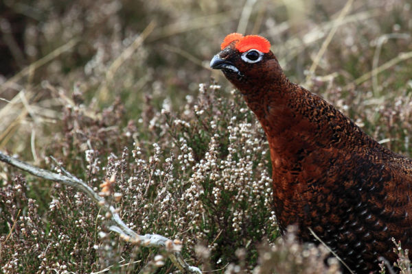 Calling Red Grouse