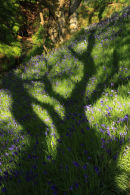 Bluebell Tree, Woodhall Dean.