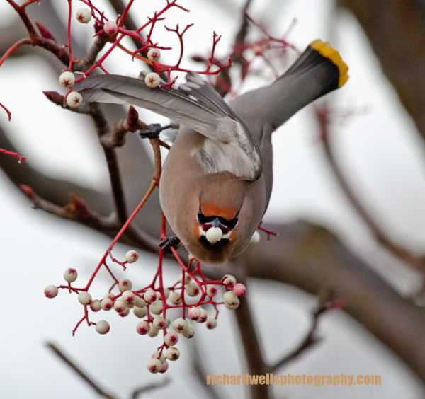 Waxwing Feeding again...
