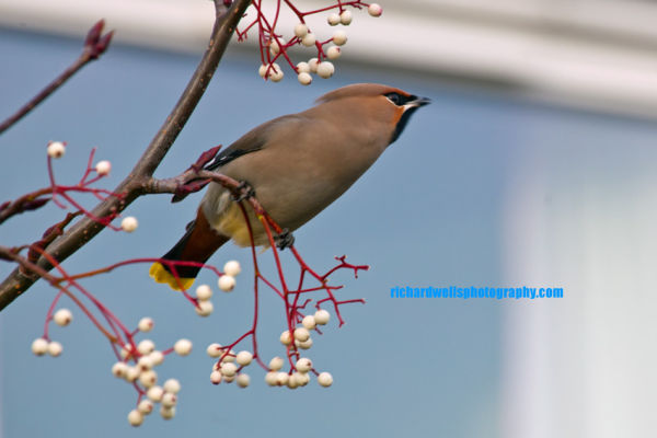 Framed Waxwing...
