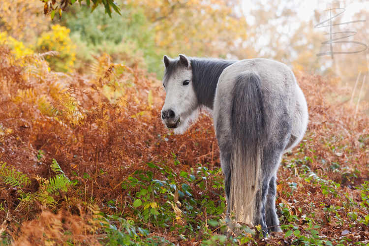 Autumn Wild Pony