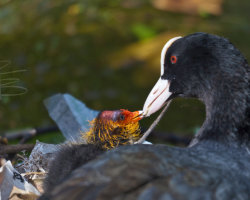 Feeding Time for Baby Coot