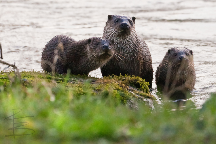 Otter Family in Blandford Forum