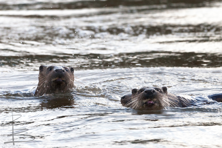 Three Otters in the River Stour