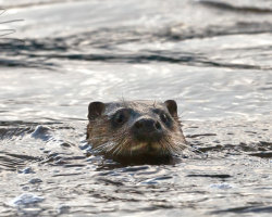 Otter swimming in River Stour