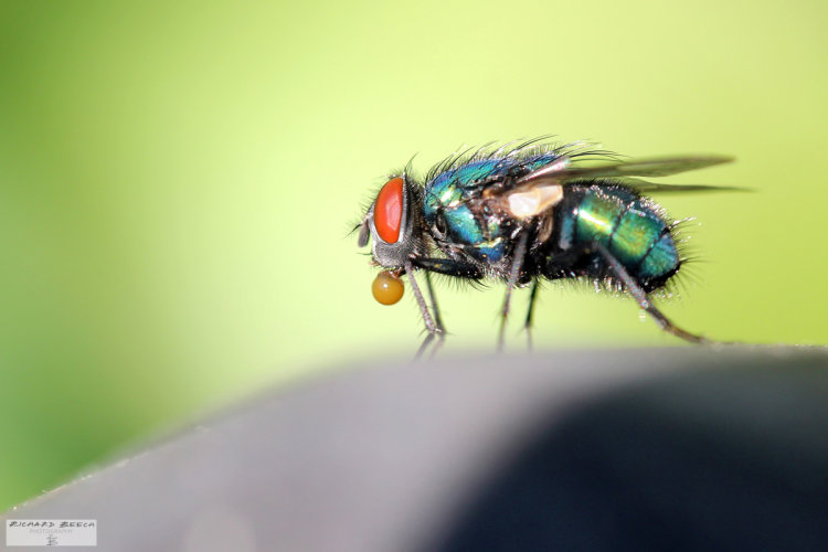 Bubble-Blowing Fly