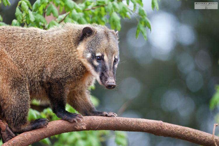 Coati on a Branch