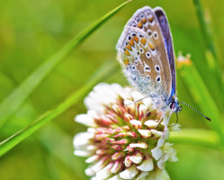 Common Blue on Clover