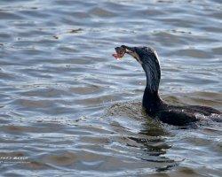 Cormorant with Fish Head