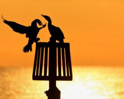 Cormorant Couple 1