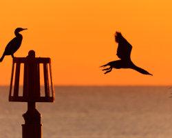 Cormorant Couple 3