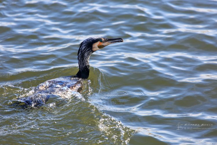 Cormorant in Sea