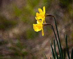 Daffodil Bokeh