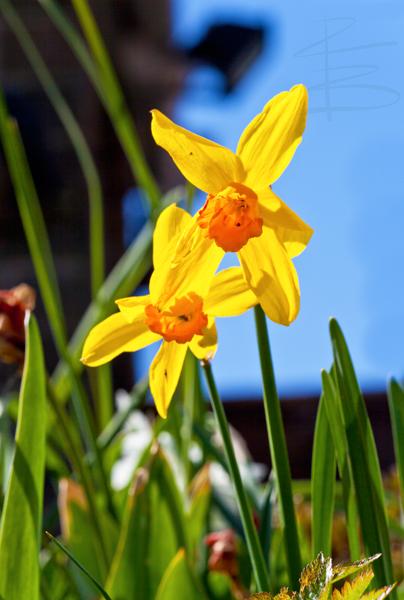 Daffodil Sky