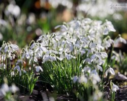 Dorset Snowdrops