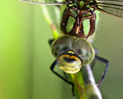 Dragonfly Extreme Close-up