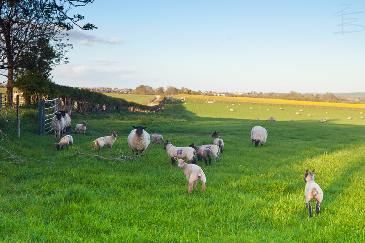 Lambs in the Early Evening Sunlight