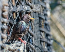 Starling in Fishing Nets