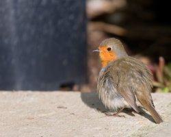 Fluffy looking Robin