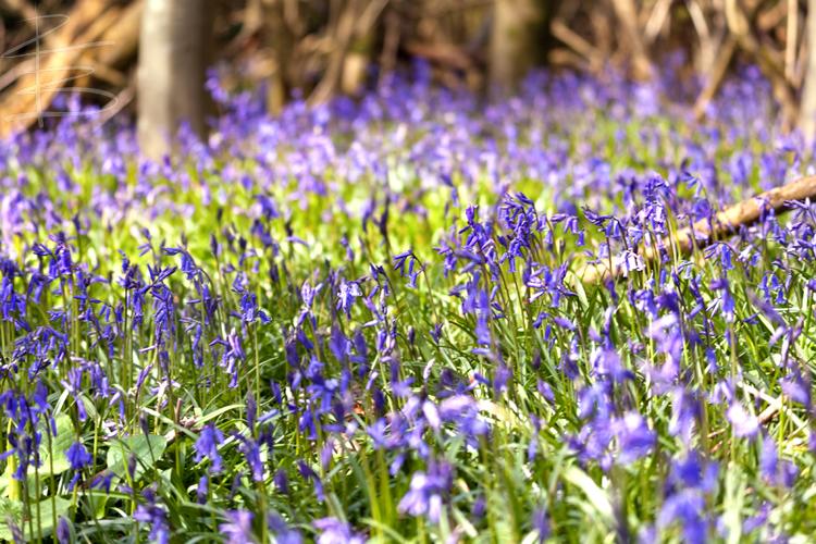 Bluebells in Garston Woods 3
