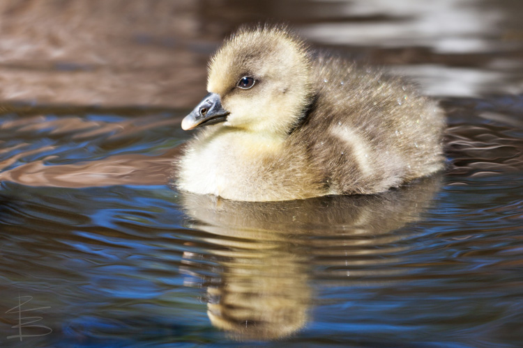 Gosling Reflection
