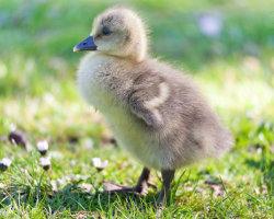 Gosling Strut