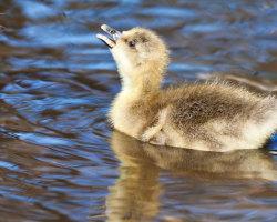 Gosling Swimming