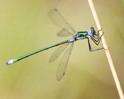 Emerald Damselfly Close-Up