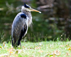Grey Heron on Riverbank