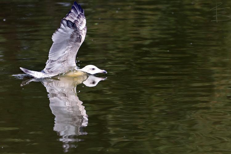 Gull Splash