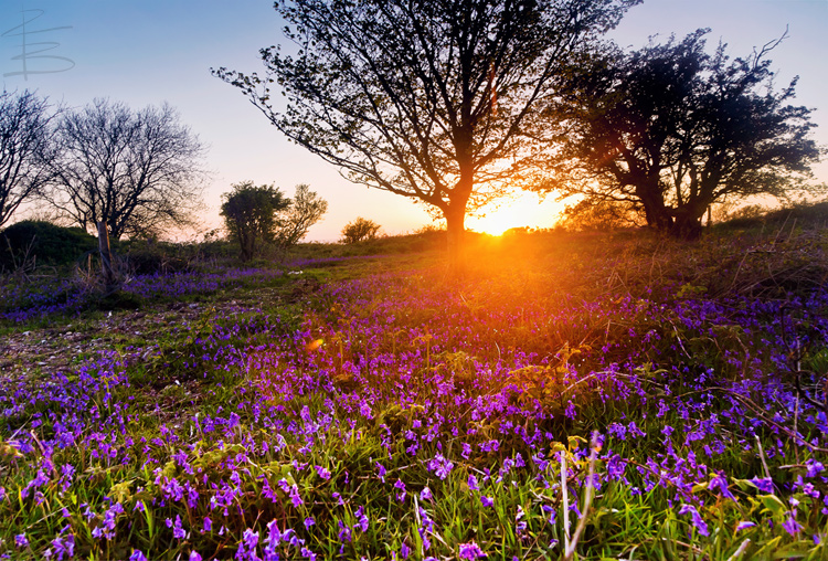 Bluebells Sunset