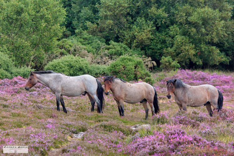 Wild Ponies on the Heath